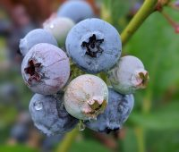 Best-places-to-pick-your-own-blueberries-in-New-Jersey
