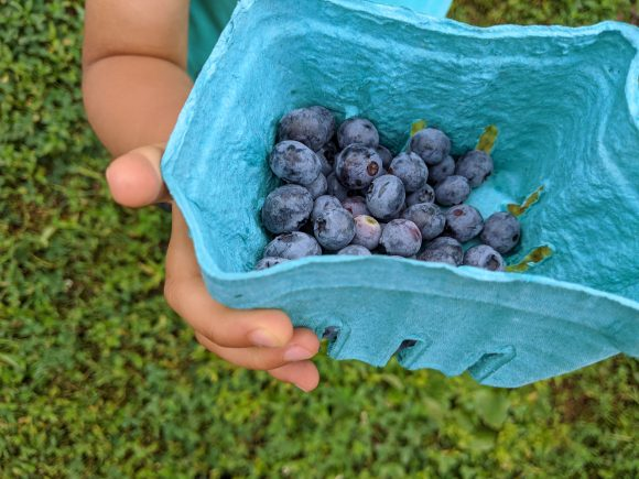 child holds container of u pick blueberries from blueberry farm in NJ
