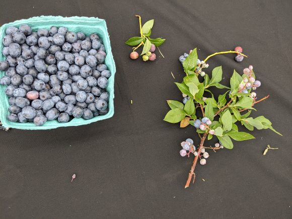 What ripe blueberries look like compared to blueberries not ready to be picked.