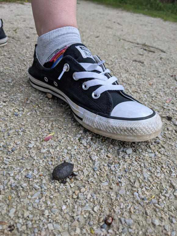 baby turtle spotted on hiking trail at Boundary Creek Park in Moorestown NJ