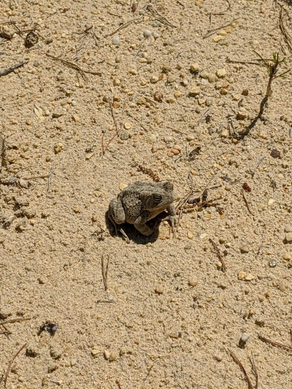 frog on a beach hiking trail at Lake Lonnie in Delran NJ