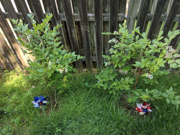 pinwheels on home grown blueberry bushes protect them from birds.