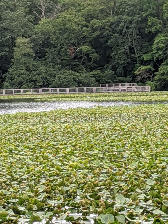 view of lily pads and egret at Smiths Woods Park in Eastampton Township, NJ