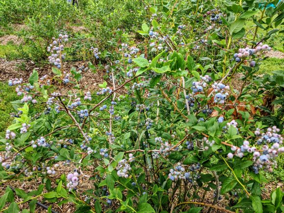 pick your own blueberries bushes at Terhune Orchards in NJ.
