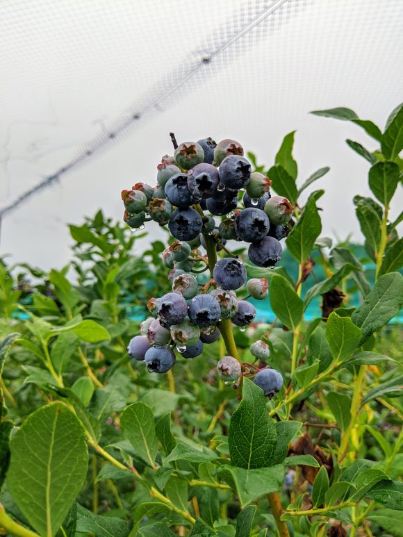 pick your own blueberries at North Jersey blueberry farm