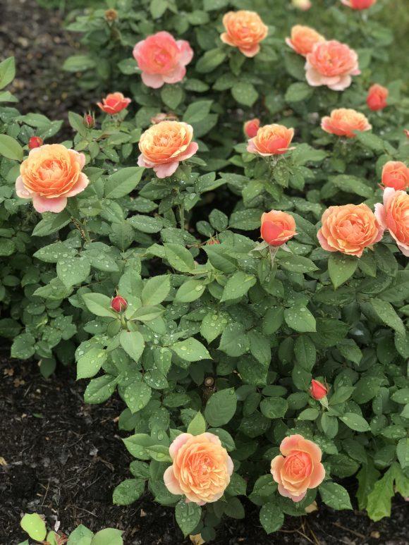 roses in the rain at Hershey Gardens