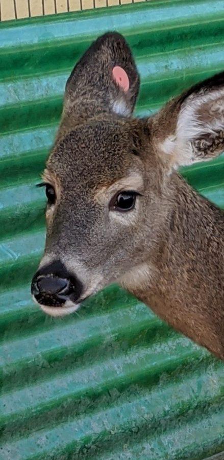 Deer at Thompson Park Zoo