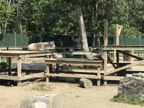 Goats at the Cape May Zoo where admission is free.JPG
