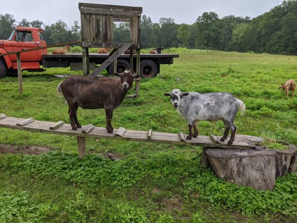 Goats at Terhune Orchards, another place to see animals for free in NJ