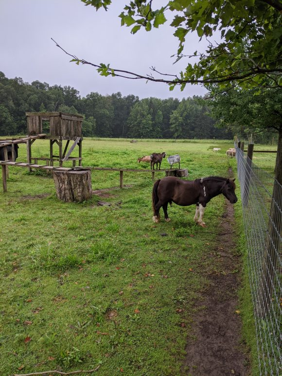 goats and mini horse at Terhune Orchards in New Jersey