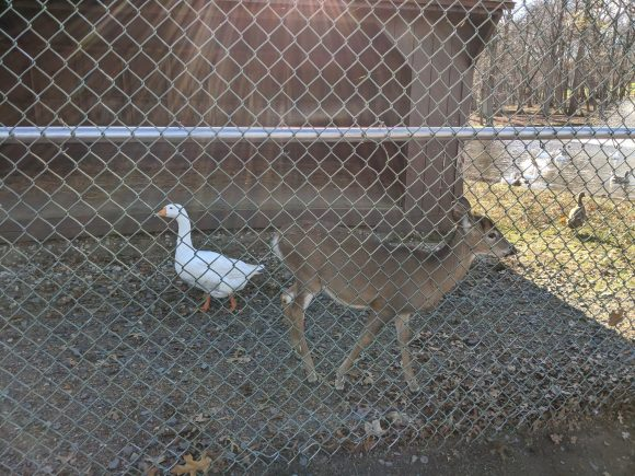 The Thompson Park Zoo in Monroe Township that offers free admission has geese and deer.