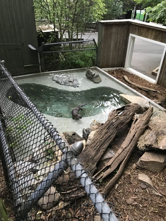 otters at ZooAmerica
