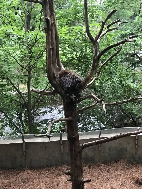 porcupine in a tree at ZooAmerica